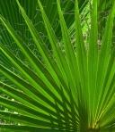 palm-fanfare